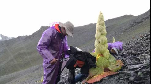 摄制组在高原拍摄成熟塔黄(图片提供:纪录中国)